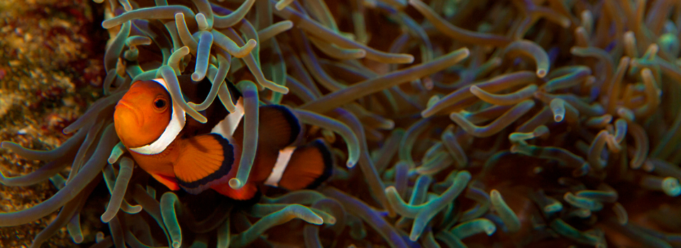 Nemo litli